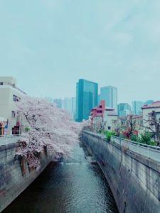 神田川の遊歩道の桜まで数分